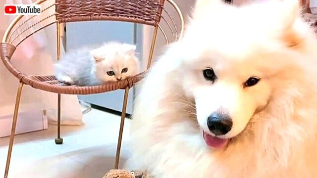 「今日もみんなお疲れさま!」サモエド犬と子猫がまったり過ごす優しい時間に癒されたい