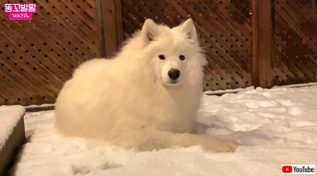 冬仕様のサモエド犬「家の中は暑すぎる!外にいたい!」と駄々をこねて飼い主さんを困らせる