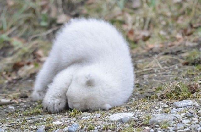 winking-polar-bear-cub-germany-10-58b7ce4318d99__880_e