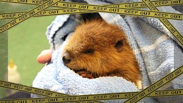 beaver1-frame