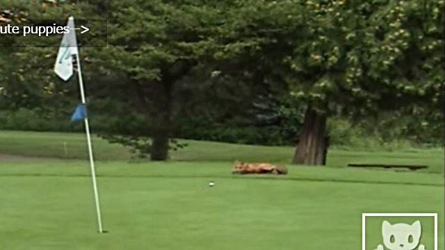 golfballfox1