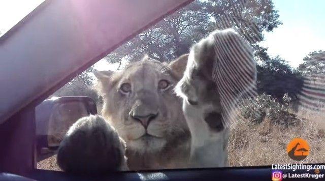 lionwantstogetinthecar0_e