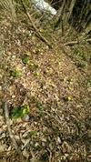 福寿草の群れ
