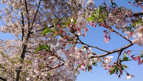 4月の桜⑥