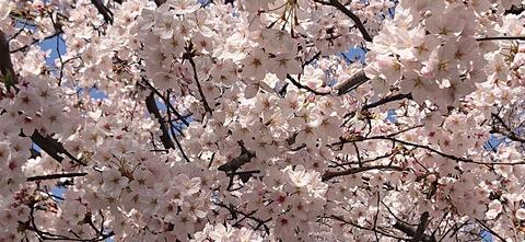 4月の桜⑨