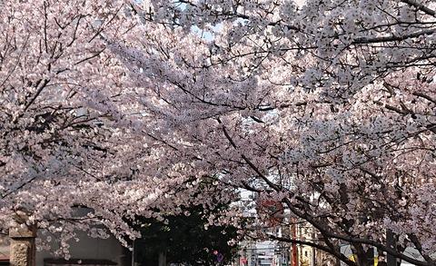 4月の桜⑧