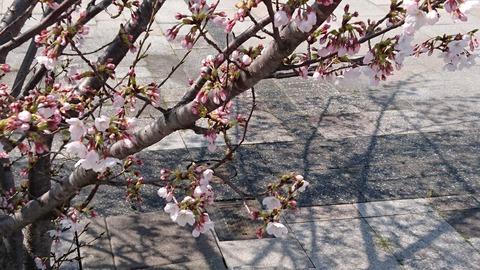 桜3/26②