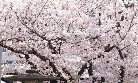 3月30日桜②-1