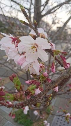 2016桜①