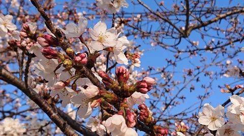 4月の桜④