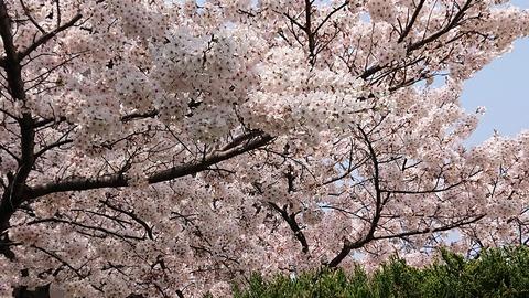 4月の桜⑩