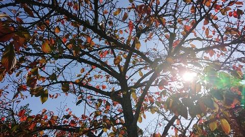 11月中旬の樹③