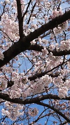 2017桜①