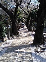 090410桜・とき緒