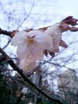 080322桜