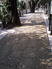 090410桜吹雪