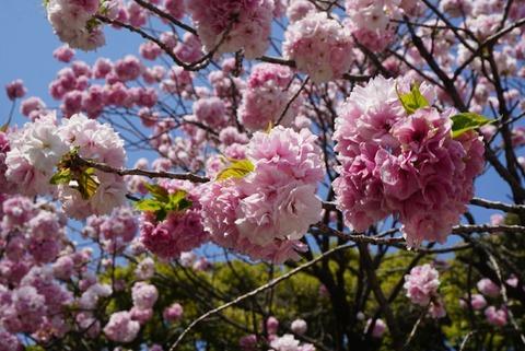 【王子】飛鳥山公園【2】【おすすめ散歩スポット!八重桜と3つの博物館】