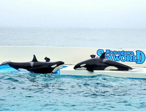【安房鴨川】鴨川シーワールド【日本で唯一シャチのショーが見れる水族館!家族連れだけでなくカップルにもオススメ♪】