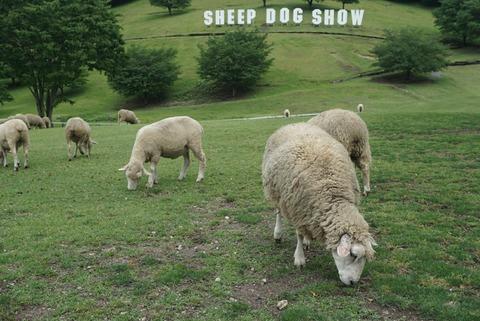 【渋川市】シープドッグショー【伊香保グリーン牧場の目玉イベント!牧羊犬の仕事人っぷりは必見!】