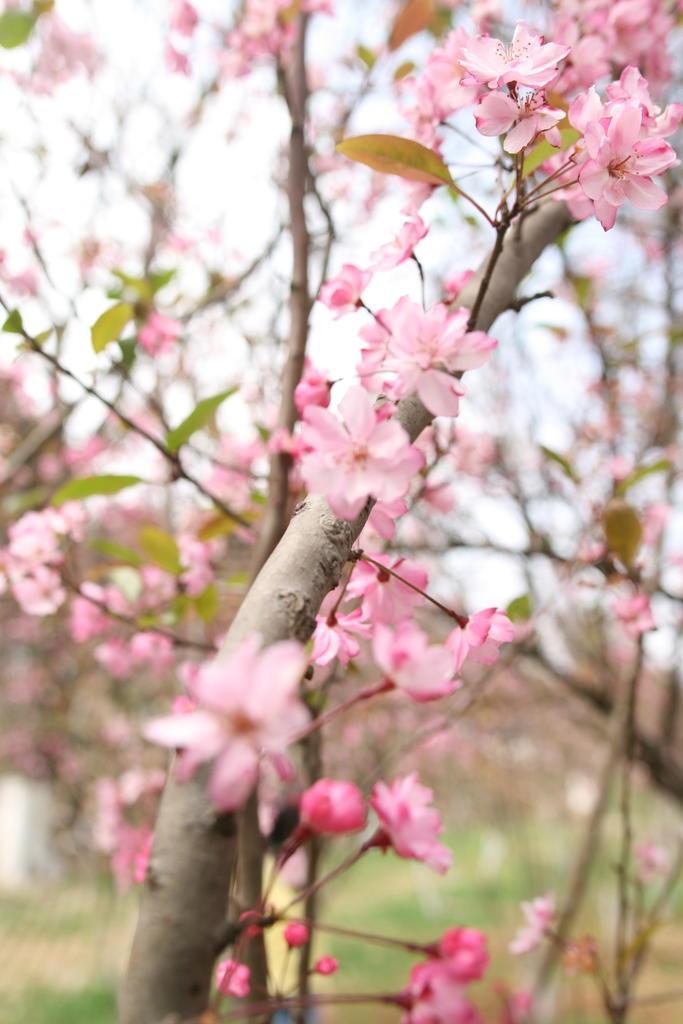 郊外には菜の花の畑が広がって美しい。 春の花々。桜が満開の中国雲南省の動物園、郊外には菜の花畑が