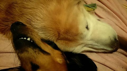 散歩後に寄り添って寝るゴ-ルデンレトリバーのサニーとダックスのピース