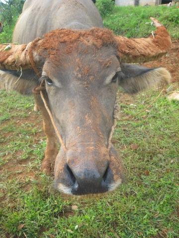 銀座ギャラリー展覧会で写真と共に発表している日記風の文章その18、雲南の家畜、