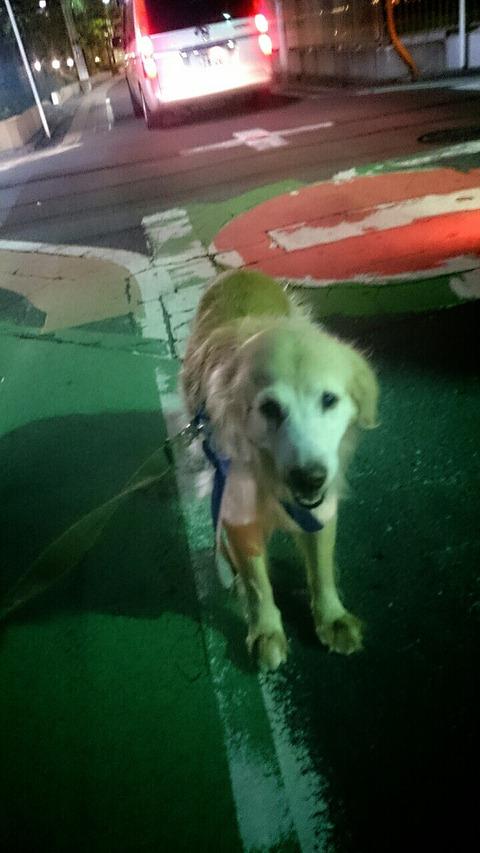 12才にして、やっと犬らしい散歩ができるようになったゴ-ルデンレトリ-バ-のサニー