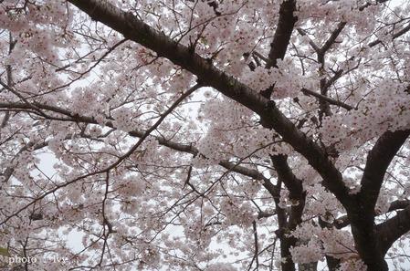 満開の桜の下