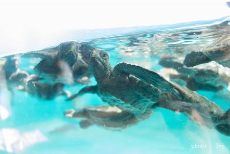 ウミガメ赤ちゃん