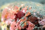 赤ナメダンゴ