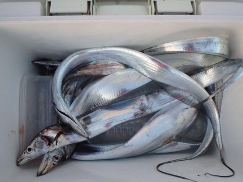 2014.07.28 太刀魚-06