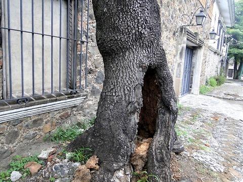 3388洞のある木