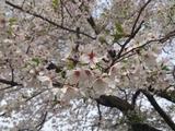 京都のお花見