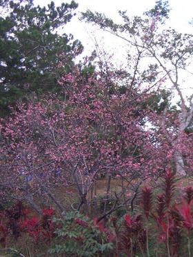 20090111-sakura-1