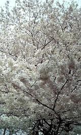 ooki sakura