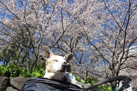 桜を楽しめた平成最後の年