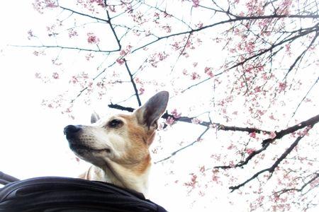 開花は3月21日