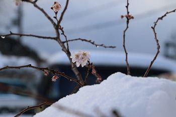 170115雪と桜