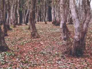 ナラ林の足元一面がカタクリの群生地です