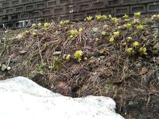 芽を出したフキノトウ