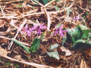 可憐なカタクリの花