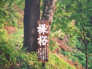 """ここにしかない""""樺桜""""という桜"""