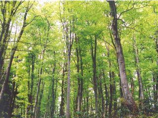 新緑が美しいブナ林