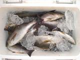 最近の釣果①