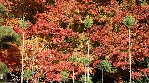 the-sakura-cherry-garden