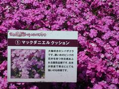 sibazakura2015-03