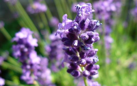 lavender03_sh