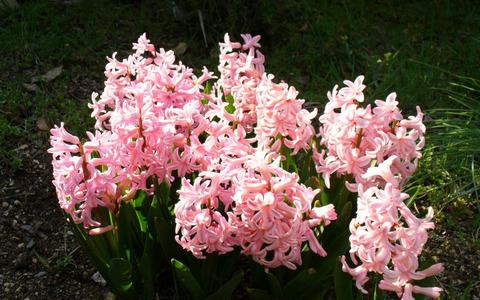 hyacinth01_sh