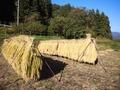 2013稲刈り07