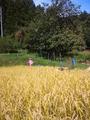 2013稲刈り04